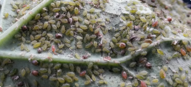 Green peach aphid on the underside of a canola leaf