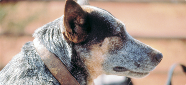 Greying cattle dog with a leather collar.