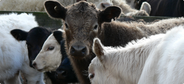 A murray grey calf amongst others in the stock yards, clearly showing its earmark and NLIS electronic device.