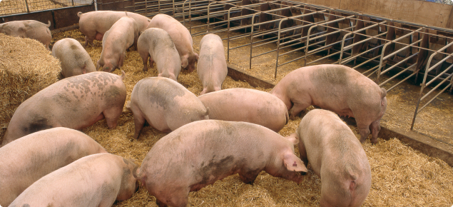 Healthy grower pigs in a pen feeding on a quality grain to minimise the risk of mycotoxin production