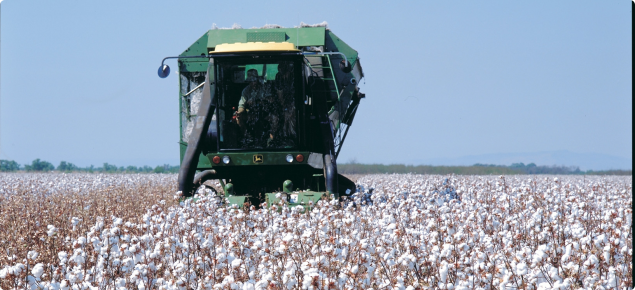 Header harvesting a field of cotton.