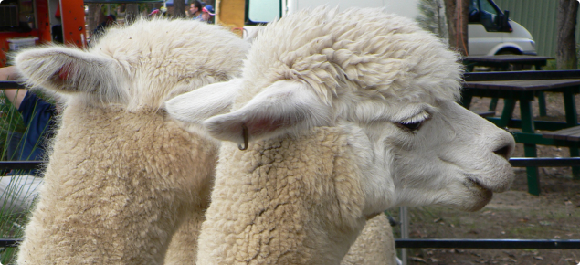 A white alpaca has a brass tag in its ear. The tag is an approved identifier which is legally recognised.