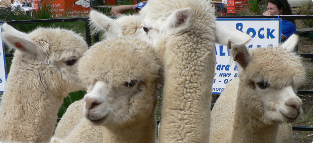 A group of mixed age, white alpacas.
