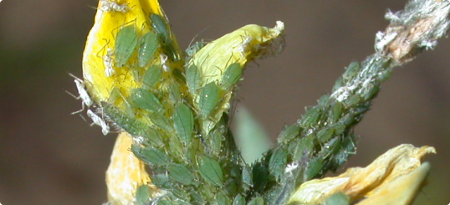 Bluegreen aphid on yellow  flowering bud of  lupin