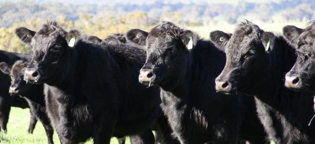3 black angus heifers