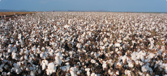 Photograph of a cotton crop at maturity. the vast expanse of the cotton crop can be seen with the dried brown stems holding up the white cotton