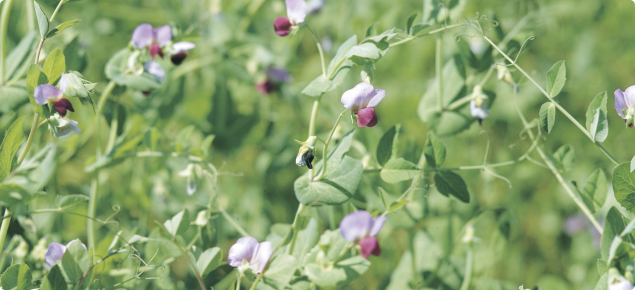 Crop of flowering field peas