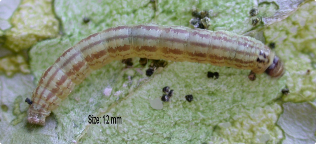 Cream-coloured cabbage centre grub has red/brown stripes and black head capsule