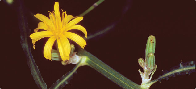 Skeleton weed (Chondrilla juncea) flower