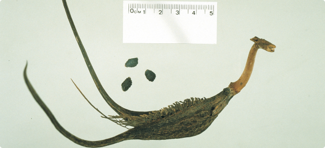 Devil's claw pod and seeds