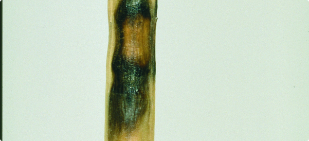 Canola pod infected with blackleg resulting in pod lesion