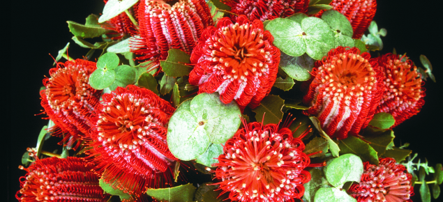 red cocinea flowers