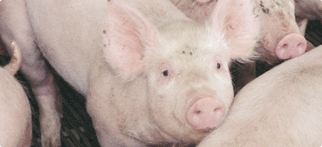 A group of eight pink grower pigs standing in a pen.