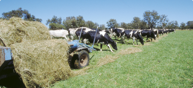 Cattle eating Silage