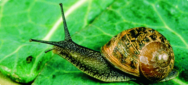 Garden snail, half out of its brown shell, on a green vegetable leaf.