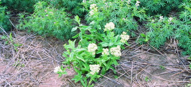 Photo of Hoary Cress