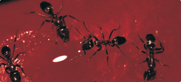 Black argentine ants on a red background seen under a microscope