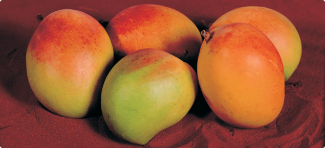 Mangoes can be grown as far south as Perth