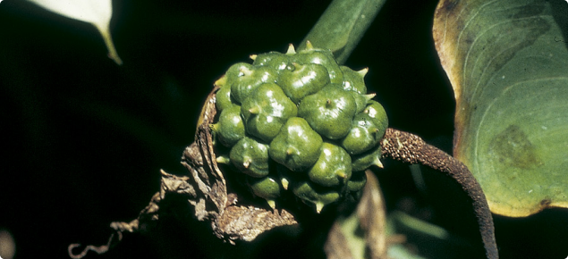 Immature arum lily berry, still green in colour