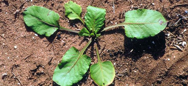 Doublegee seedling