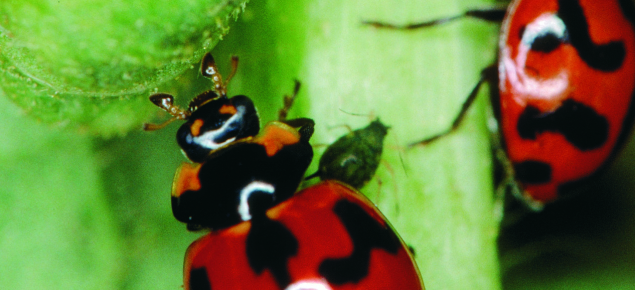 Two red lady birds with black spots.