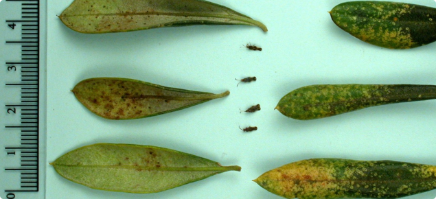 Olive Lace Bug In Western Australia Agriculture And Food