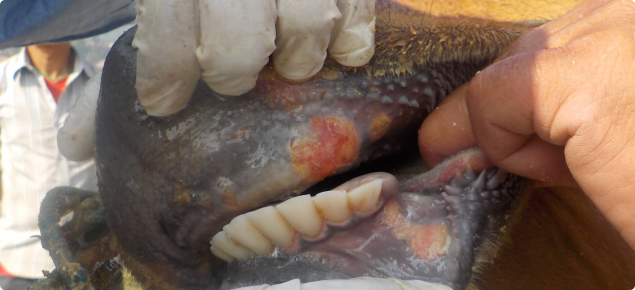 Foot-and-mouth disease lesions in the mouth of a Nepalese cow. These lesions are about five days old.