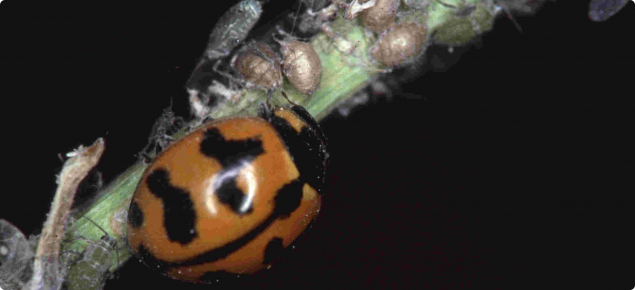 Orange and black adult predator ladybird