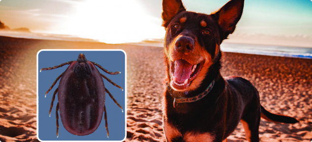 Kelpie on beach with inset of brown dog tick