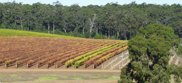 Two treated rows of vines in a block heavily infested with six-spotted mite demonstrate the damage potential of this mite