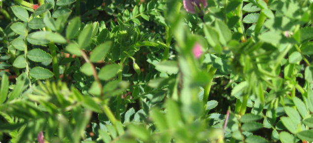 Healthy chickpea crop with promising potential