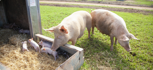 Free range pigs and piglets feeding