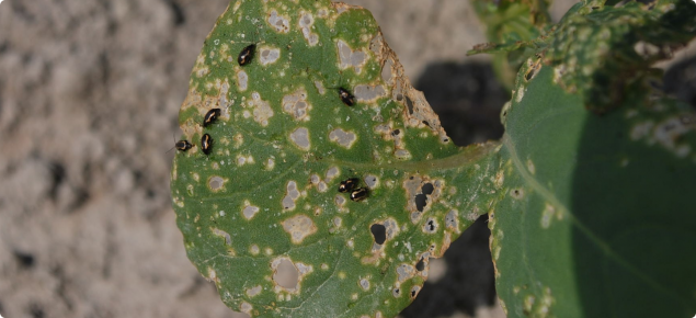 Leaf beetles and their damage on brassica seedling. Photo courtesy AAFC, Government of Canada