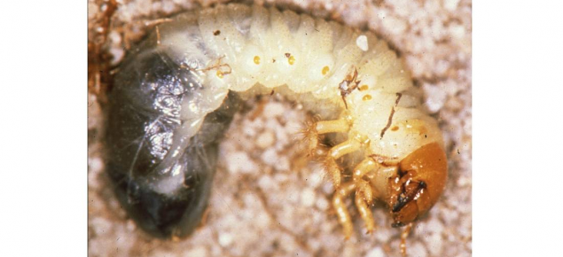Whitegrubs are the larval stage of beetles. Both larvae and adults damage crops