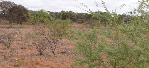 Pairs of straight spines are commonly found on young bardie bush plants.