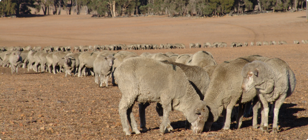 sheep eating supplementary feed