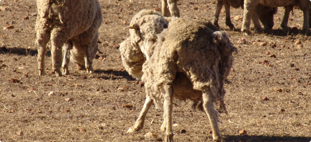 sheep rubbing due to lice infestation