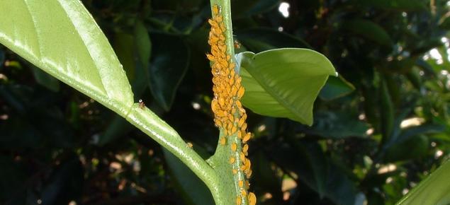 Aphis spiraecola