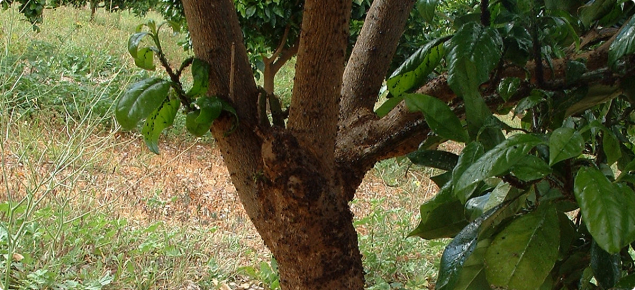 Citrus aphids on trunk