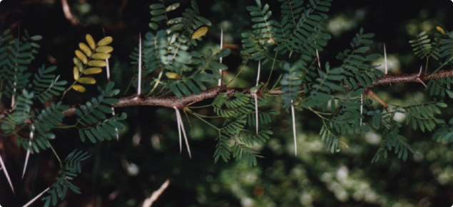Acacia karoo thorns and leaves on a branch