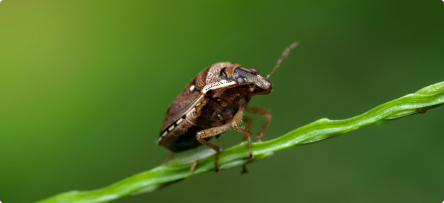 Brown marmorated stinck bug