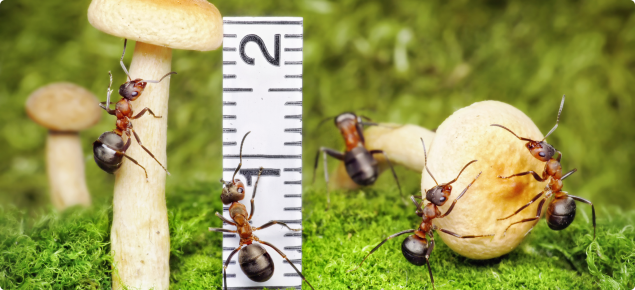 Ants climbing on mushrooms and ruler