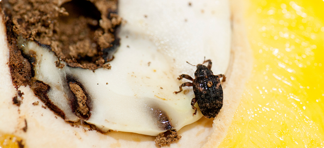 Adult mango seed weevil on a mango that has been cut open