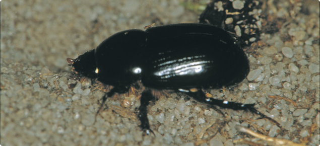 African black beetle adults are shiny black beetles about 14mm long