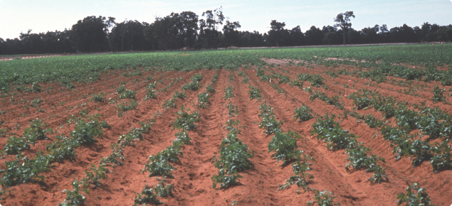 Poor establishment of a potato crop damaged by African black beetle