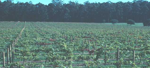 Foliage of red grape variety damaged by African black beetle turns red prematurely