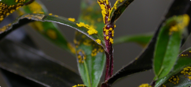 Plant with purple stems and dark green leaves covered with a bright yellow powder-like fungus.
