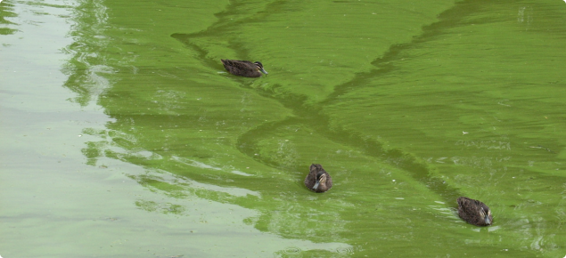 Algal bloom caused by excess nutrients