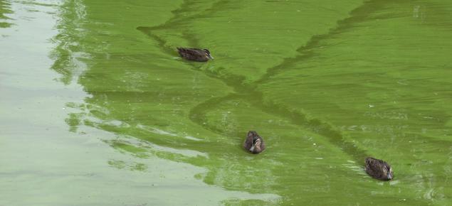Algal bloom caused by excess nutrients