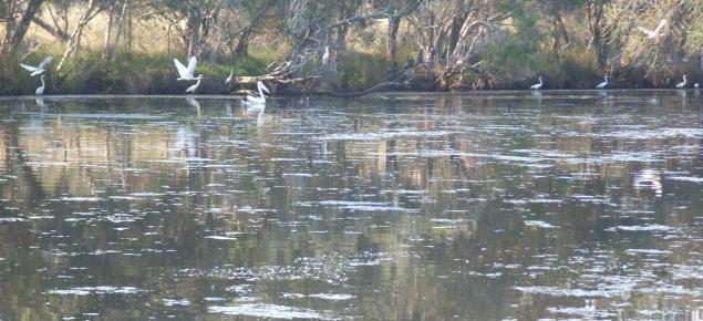 Algal bloom on the Serpentine River